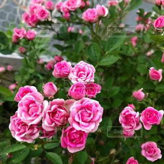ピンクのミニ薔薇の写真・画像素材[1252849]