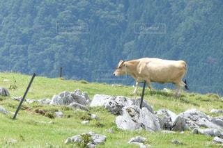 草の上に茶色と白の牛立ってカバー フィールドの写真・画像素材[1212687]