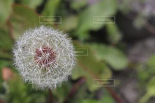 タンポポの綿毛の写真・画像素材[546261]