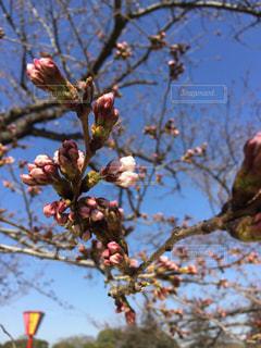 桜のつぼみの写真・画像素材[546780]