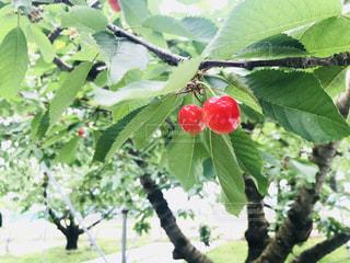 木になるさくらんぼの写真・画像素材[1255783]