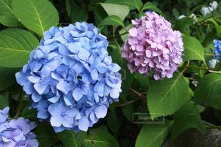 花の写真・画像素材[562127]