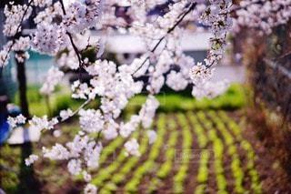 桜の写真・画像素材[16577]