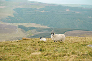 高原の羊の写真・画像素材[2236756]