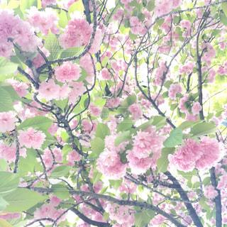 緑の葉とピンクの花の写真・画像素材[1260334]