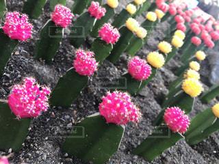 近くの花のアップの写真・画像素材[960140]