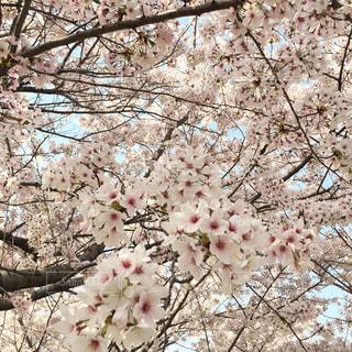 木にピンクの花のグループの写真・画像素材[1124074]