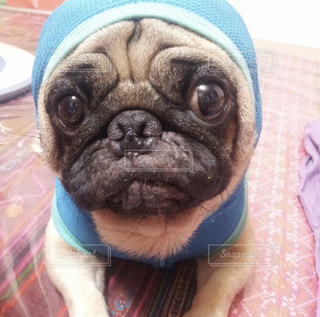 帽子をかぶった犬の写真・画像素材[798758]