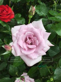 近くの花のアップの写真・画像素材[814799]