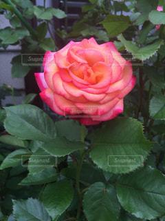近くに緑の葉とバラのアップ - No.814800