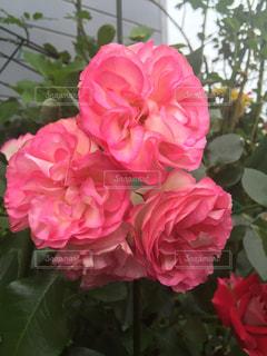 近くの花のアップ - No.814801