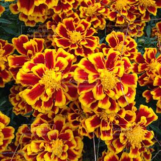 花の写真・画像素材[552258]