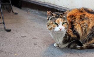 猫の写真・画像素材[552705]