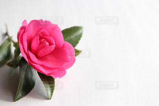 道端で拾ったピンクの花の写真・画像素材[946320]