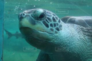 水の下で泳ぐ海亀の写真・画像素材[978501]