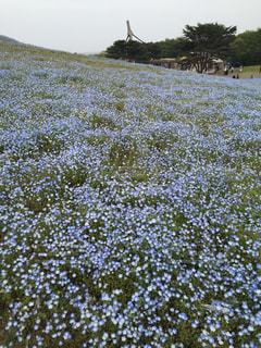 ネモフィラの丘の写真・画像素材[555261]
