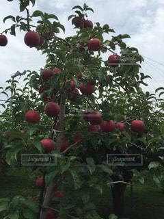 果樹園の写真・画像素材[563609]