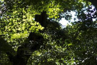 楓の木を仰ぎ見たところの写真・画像素材[1026939]