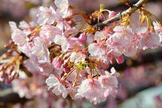 河津桜のアップの写真・画像素材[1030912]