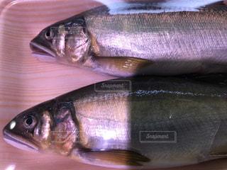 魚の写真・画像素材[557506]
