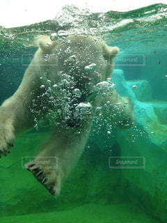 ホッキョクグマは水で泳いでください。 - No.819313