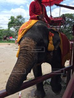 象に乗る男・象使いの写真・画像素材[1011007]