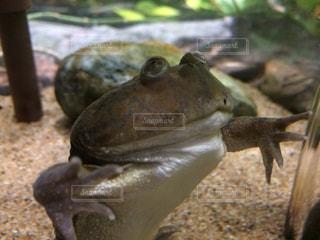 カエルの写真・画像素材[1073329]