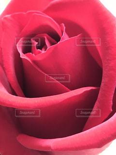 赤いバラ - No.797376
