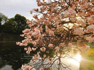 桜の写真・画像素材[561592]