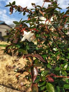 白い花の写真・画像素材[1658705]