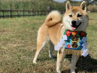 柴犬 正月の写真・画像素材[1530405]
