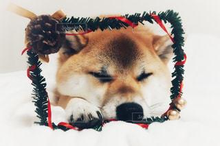 柴犬 冬 12月 クリスマスの写真・画像素材[1626255]