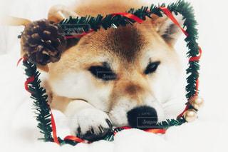 柴犬 冬 12月 クリスマスの写真・画像素材[1626257]