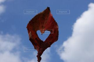 ハート 冬 紅葉 青空 9の写真・画像素材[1627775]