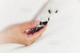 柴犬 手 握手 白背景の写真・画像素材[1635452]