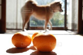 柴犬 犬 縁側 みかん 6の写真・画像素材[1635783]