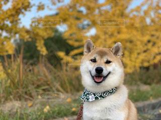 柴犬 イチョウ 黄葉 紅葉の写真・画像素材[1646249]