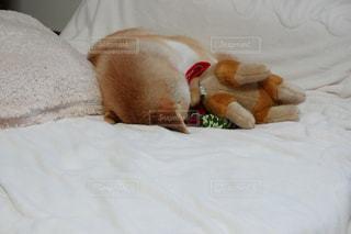 柴犬 犬 ベッド ごめん寝の写真・画像素材[1646376]
