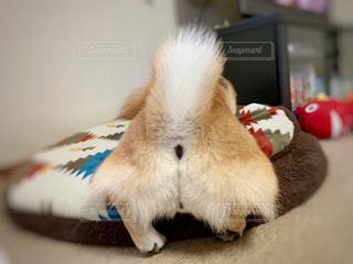柴犬 犬 お尻 もふもふの写真・画像素材[1654084]