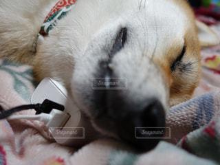 置くだけ充電 犬 柴犬 モバイルバッテリーの写真・画像素材[1655218]