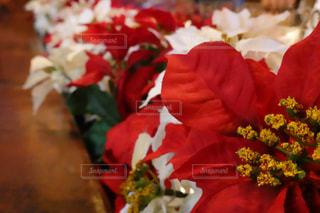ポインセチア 冬 クリスマスの写真・画像素材[1660153]