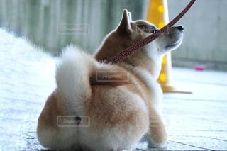 柴犬 犬 巻き尾 桃尻 おしりの写真・画像素材[1662894]