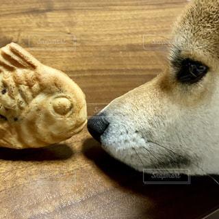 柴犬 犬 たい焼きの写真・画像素材[1757021]