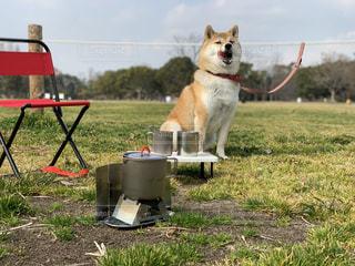 柴犬 犬 アウトドア キャンプ 春 夏の写真・画像素材[1813996]