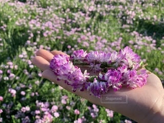 れんげ畑 レンゲ 花冠 花かんむりの写真・画像素材[2048769]