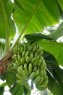 バナナ バナナの木の写真・画像素材[2161945]