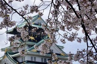 大阪城 桜の写真・画像素材[2180871]