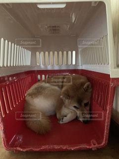 柴犬 犬 おびえる クレート ハウスの写真・画像素材[2421146]