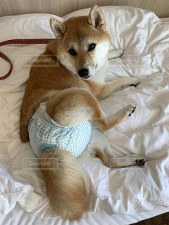 柴犬 犬 おむつ オムツ マナーパンツ 介護 粗相の写真・画像素材[2421292]