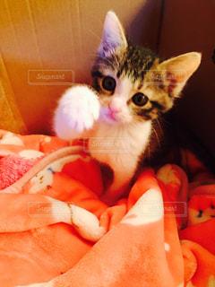 毛布の上に座っている猫の写真・画像素材[998258]